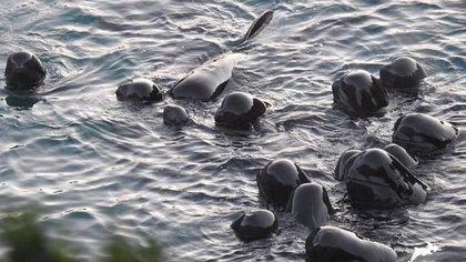 Esta imagen, tomada por la organización sin ánimo de lucro Dolphin Project el pasado 10 de septiembre, captó cómo la familia de ballenas perm(Foto: Dolphin Project)