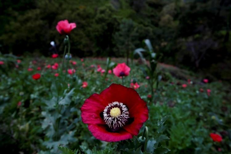 De los cultivos de amapola se deriva la heroína y la morfina. (Foto de referencia. Reuters)