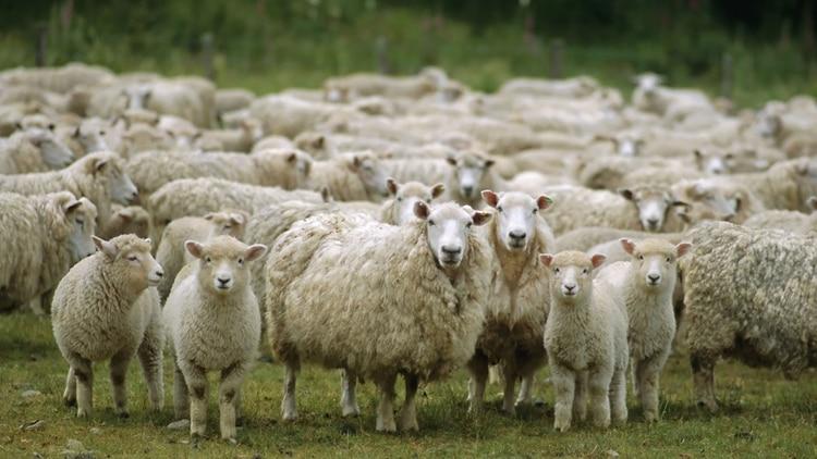 Más de 5 mil ovejas aparecieron muertas en campos de la provincia de Corrientes