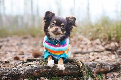 Los chihuahuas, pese a su comportamiento gruñon ante otros perros y personas, son excelentes compañeros y, por su tamaño, capaces de acompañar a su dueño a todos lados (Getty)