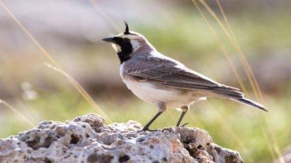 El ave puede ser un ancestro de dos subespecies de alondras vivas hoy, una en el norte de Rusia y la otra en la estepa mongola (Shutterstock)