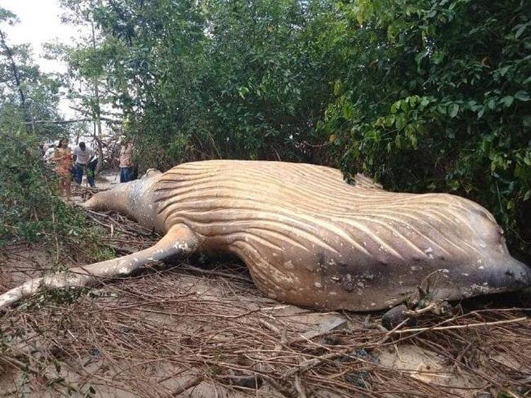 Una ballena apareció en medio del río Amazonas, en la isla de Marajó, Belén (Bicho D'água)