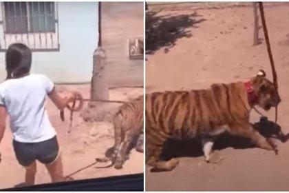 En octubre del 2020, una niña fue captada en un video, viralizado en redes sociales, donde se le ve pasear a un tigre de bengala con una correa en su cuello, como si se tratara de un perro, en el municipio de Guasave, Sinaloa Foto: (Facebook)