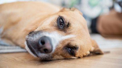 La alergia también puede manifestarse en nuestros perros