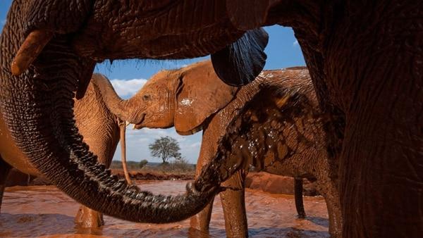 Un reparador baño en el Parque Nacional Tsavo East en Kenya. Era 2010 y Michael Nichols no se perdió la oportunidad de eternizar con su cámara la actividad de estos elefantes (National Geographic)