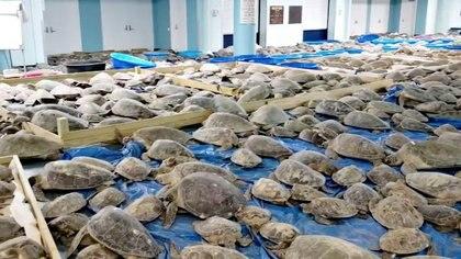 Tortugas rescatadas aturdidas por el clima frío en un centro de evacuación en South Padre Island, Texas (City Of South Padre Island Convention And Visitors Bureau/vía REUTERS)
