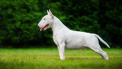 Los bull terrier son conocidos por la forma única de su cabeza y sus pequeños ojos en forma triangular. Su temperamento ha sido descrito como amante de la diversión, así como activos y graciosos