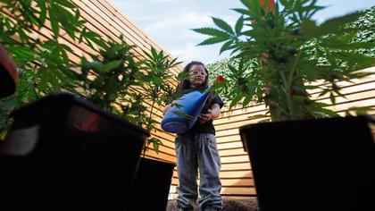 Los cultivadores hogareños deberán estar inscriptos en el Programa Nacional