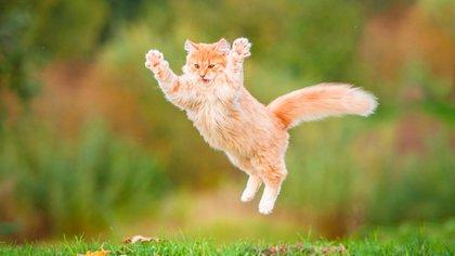 Se dice que los gatos siempre caen de pie (Shutterstock)