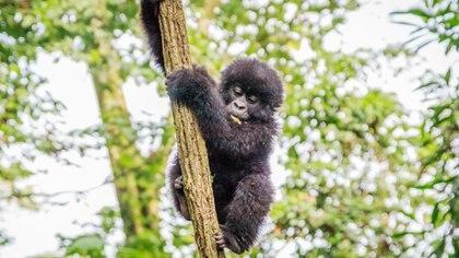Para 2030 se extinguirían hasta el 75 por ciento de las especies de monos (iStock)