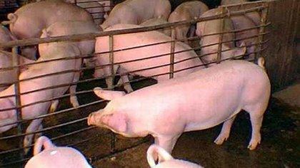 La elección del cerdo no es arbitraria sino que aprovecha el parecido fisiológico del animal con los seres humanos