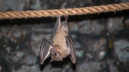 En todo el mundo, existen unas 1200 especies de murciélagos, animales asociados al contagio del SARS y el MERS (Shutterstock)