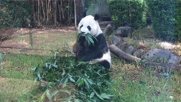 Xuan Xuan a veces suele ser más sociable que su compañera.
