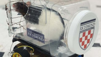 Las ratas consiguieron ejecutar las tareas a bordo de los vehículos (Foto: Universidad de RIchmond)