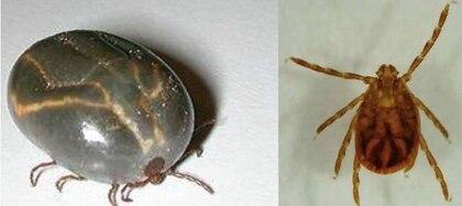 La garrapata de patas negras es la que provoca la enfermedad de Lyme (Departamento de Agricultura de Nueva Jersey)