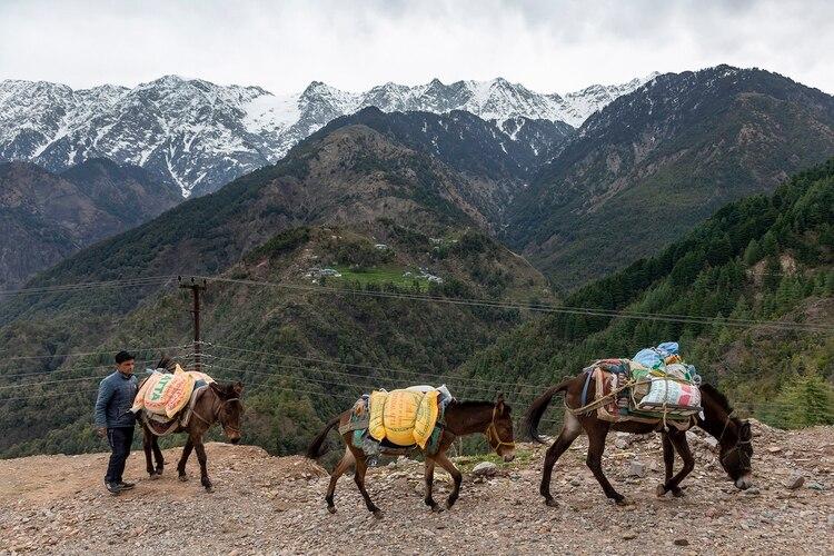Los picos del Himalaya, paisaje impensable días atrás, mientras un hombre conduce su tren de mulas (Foto AP/Ashwini Bhatia)