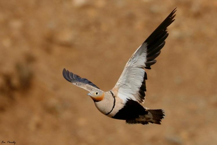 Foto de ganga ortega, especie de ave propia de zonas esteparias. F. Parody