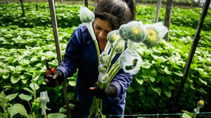 El Rosal. Febrero 13 del 2020. Proceso de cultivo de los 700 millones de tallos que se exportan para la fecha de San Valentín desde Colombia. (Colprensa - Diego Pineda)