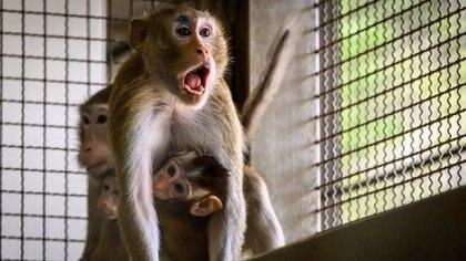 Pruebas en laboratorios con animales (AFP)