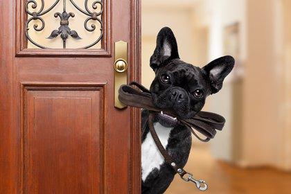 El bulldog francés es una de las razas más buscadas por los amantes de los perros compactos