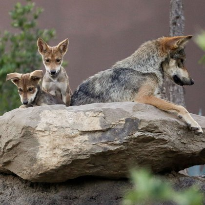 Mexican gray wolf cubs, an endangered native species, are seen in their enclosure at the Museo del Desierto in Saltillo, Mexico July 2, 2020. REUTERS/Daniel Becerril