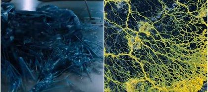 La criatura recuerda a la de ficción de la película Venom, donde podía transformarse, memorizar y comer, sin que tuviera cerebro o estómago Foto: Parc Zoologique de Paris
