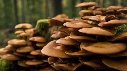 El investigador Nestor Naranjo, precisó que los hongos usados por los estudiantes son el Agaricus y las setas Pleurotus, ricos en una proteína llamada quitina, con propiedades cicatrizantes
