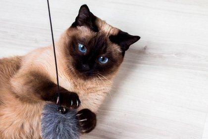 Los gatos son animales de compañía caracterizados por su independencia y no dependencia de los humanos (Shutterstock)
