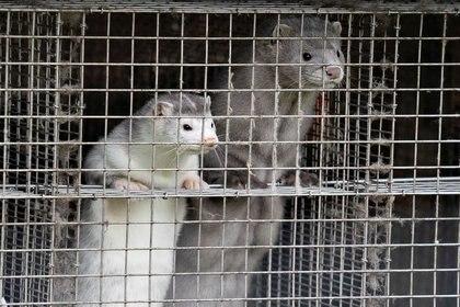 Más de 17 millones de visiones están siendo sacrificados en Dinamarca y arrojados en fosas comunes en medio de un desesperado intento para que una mutación del coronavirus asociada con estos animales no se propague (REUTERS)