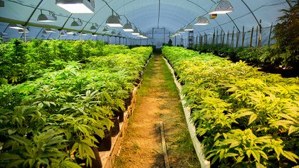 El Estado cultiva marihuana en grandes invernaderos custodiados por fuerzas militares (Ecos)