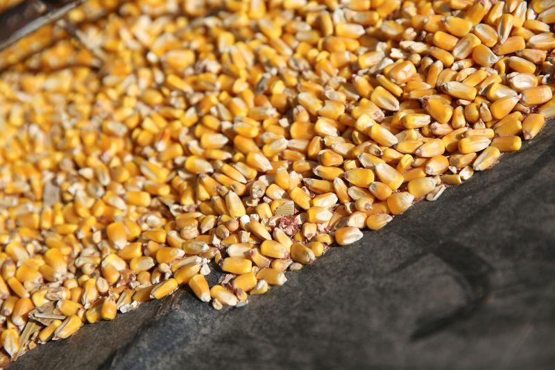 Los productores de maíz aceleran sus ventas para aprovechar los buenos precios (REUTERS/Daniel Acker/Archivo)