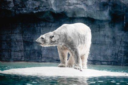 """""""Los osos polares pasan más tiempo en tierra y están en ayunas durante períodos más largos, las osas madres también están dando a luz camadas de cachorros más pequeñas"""", advirtieron los investigadores (Shutterstock)"""