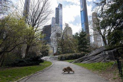 Un mapache camina por un desértico Central Park en una Nueva York en cuarentena (16 de abril)