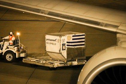 Personal del aeropuerto internacional de Carrasco de Uruguay trabajan en la descarga de las vacunas de Pfizer (EFE)