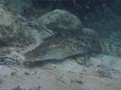 Panchito es el nombre del cocodrilo tipo moreletii que habita desde que era pequeño en el Cenote Manatí