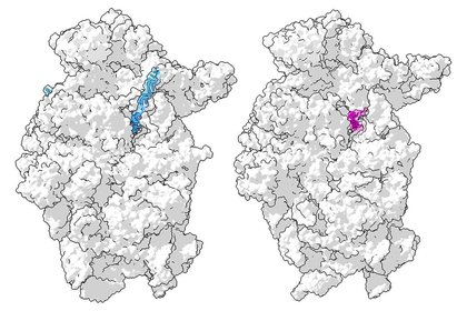 Christopher Lapointe, Stanford University School of Medicine. Ribosome models by Angelita Simonetti et al., Cell Reports and Matthias Thoms et al., Science