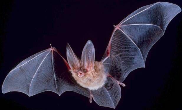 Murciélagos suizos albergan virus de 39 familias diferentes, algunos con el potencial de saltar a humanos (Universidad de Oxford/Europa Press)