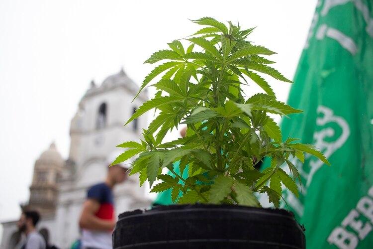 Porsu ilegalidad durante décadas, la marihuana no está bien estudiada. (Matias Baglietto)
