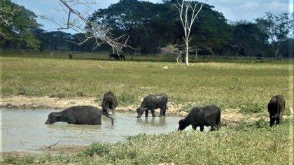 Achaguas es una tierra rica para el cultivo de ganado
