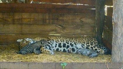 Tania con su joven, que es una esperanza para la conservación de la especie.