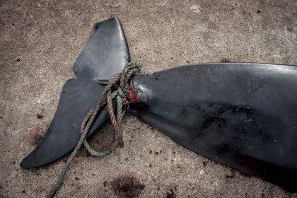 Vue d'un globicéphale mort sur le quai de Jatnavegur, près de Vagar dans les îles Féroé, en 2018. EFE / Mads Claus Rasmussen / Archive