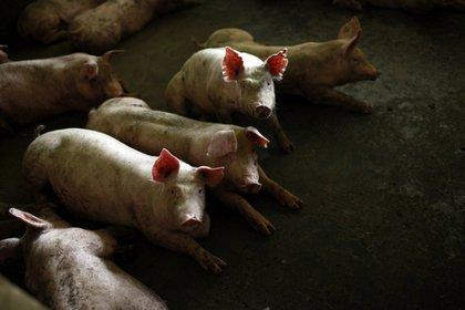 Pigs gather in a pen at a farm in Jiaxing, Zhejiang Province.