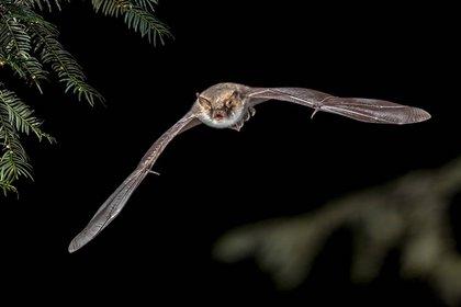 Los científicos tailandeses realizaron un hallazgo importante en los murciélagos (Europa Press)