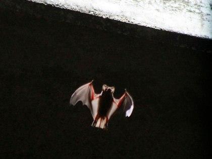 El IPN investiga el sistema inmune del murciélago magueyero (Leptonycteris yerbabuenae) (Foto: Reuters / Charlie L. Harper)