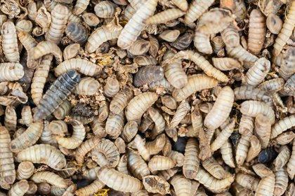 Las larvas de la mosca soldado pueden comer casi de todo y producir grandes cantidades de proteína que se usa para alimento animal.