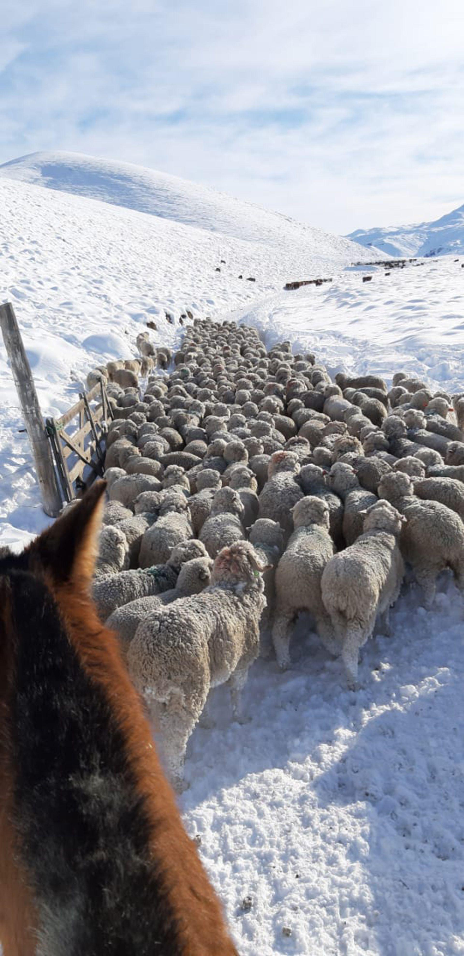 nevada ovinos