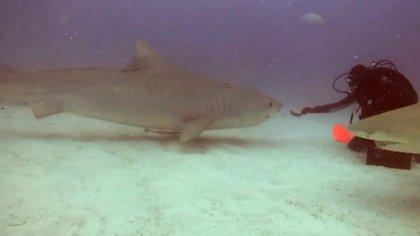 El buzo, Leigh Cobb, comenzó alimentando al tiburón con un pescado