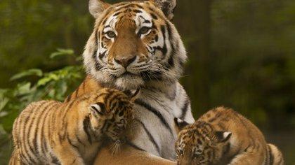 El ambicioso plan pretende restaurar un ecosistema completo para potenciar el desarrollo de la especie (iStock)