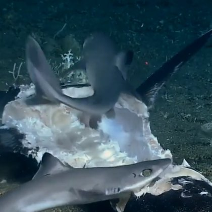 Los tiburones viajaban en un grupo de once cuando encontraron al pez espada del que se alimentaron, pero no sospechaban que eran acechados por otro depredador Foto: Impresión de pantalla del video de NOAA