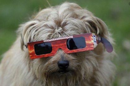Un perro se protege del eclipse solar en Regent Park, Londres (AP/Kirsty Wigglesworth/The Washington Post)
